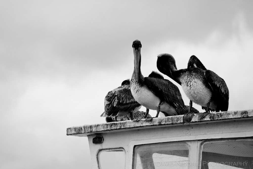 Pelicanos