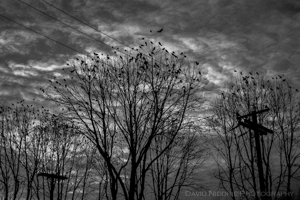 davidniddrie_vancouver_crows-4425