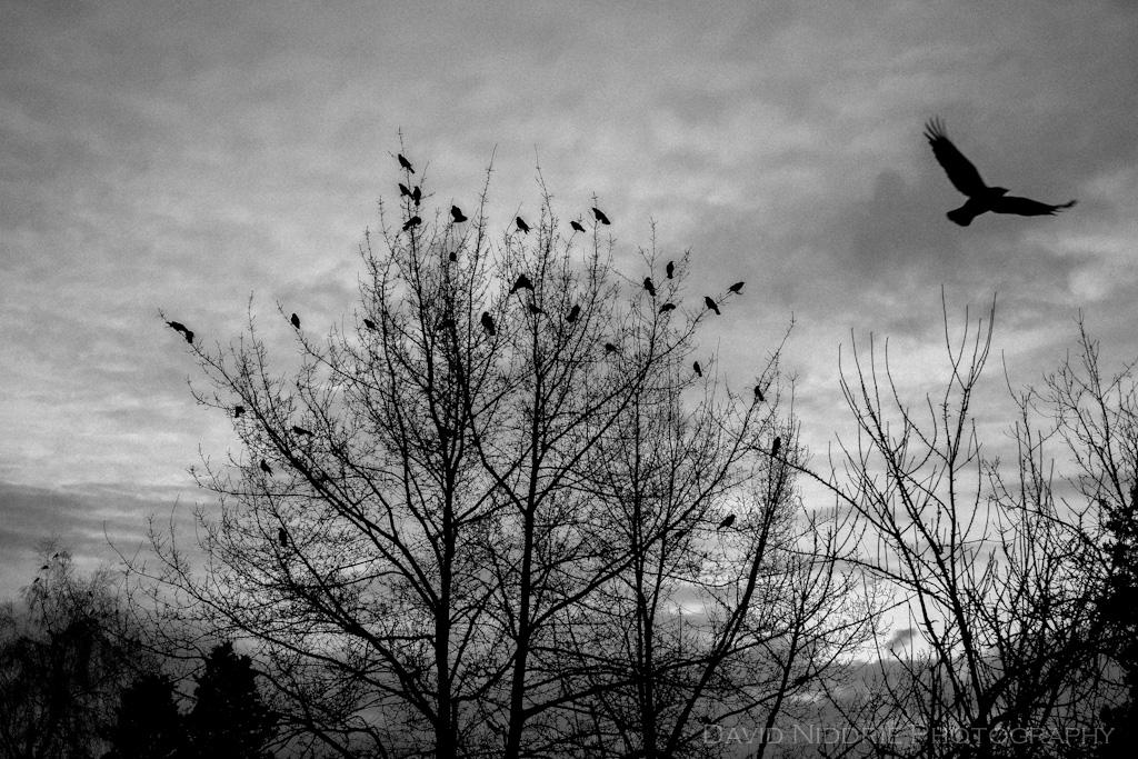 davidniddrie_vancouver_crows-4449