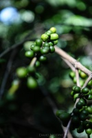 davidniddrie_guatemala_coffee-5686