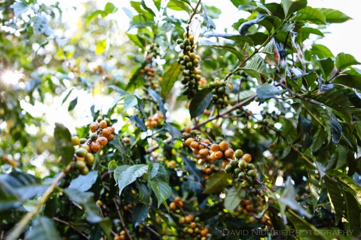 davidniddrie_guatemala_coffee-5956