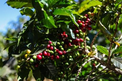 davidniddrie_guatemala_coffee-5959
