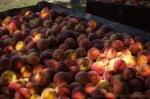 davidniddrie_bc_parsons_peaches-8051