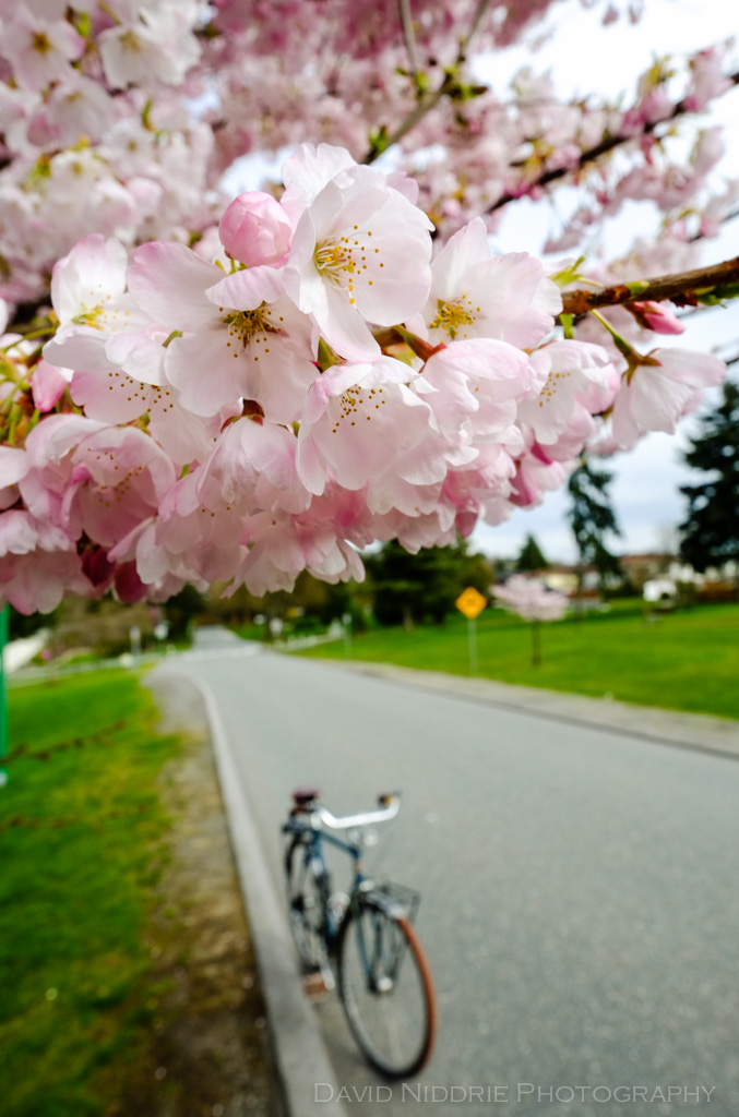 davidniddrie_bicycle_cherryblossom-2861
