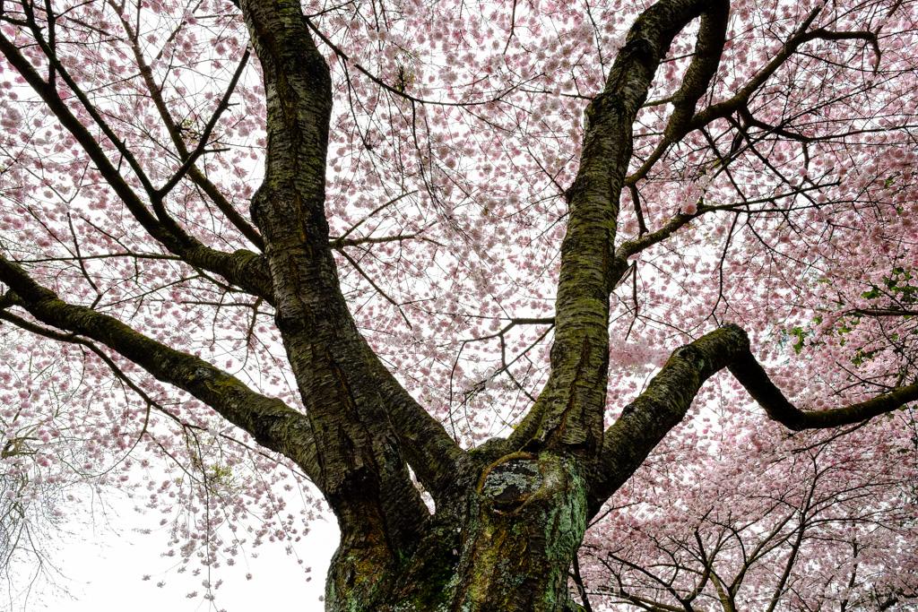 davidniddrie_vancouver_blossomtree-2805