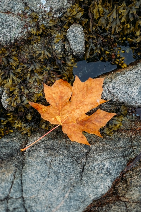A maple leaf sits in a tidal pool on the Pacific Ocean.
