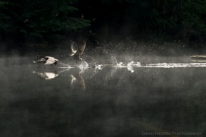 A pair of Canada Geese take off from the water.