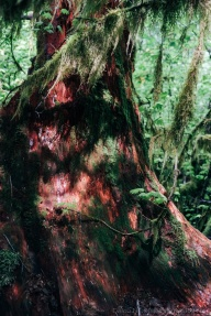 A cedar stump is covered in moss and red bark.