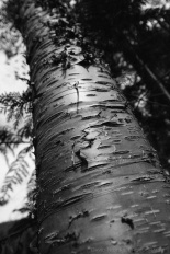 A black and white photo of a birch tree bark.