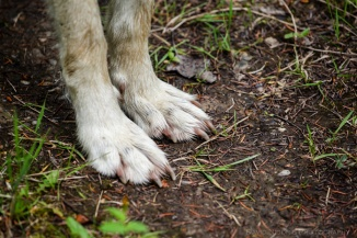 The paws of a Grey Wolf.