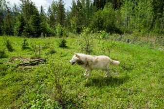 A Grey Wolf runs in the forest near Golden, BC, Canada.