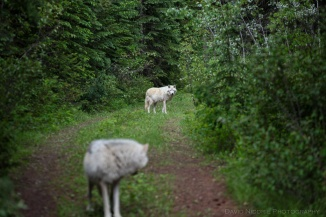 Grey Wolves walk in the forest near Golden, BC, Canada.