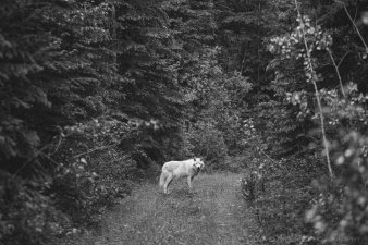 A Grey Wolf walks in the forest near Golden, BC, Canada in this black and white image.