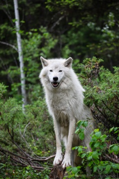A Grey Wolf stands in the forest near Golden, BC, Canada.