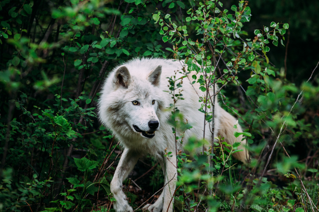 A grey wolf moves through the forest near Golden, BC.