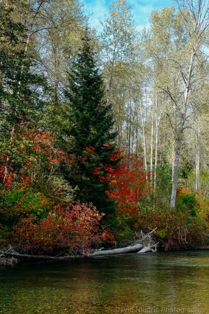 Autumn leaves and trees along the Skagit River in BC.