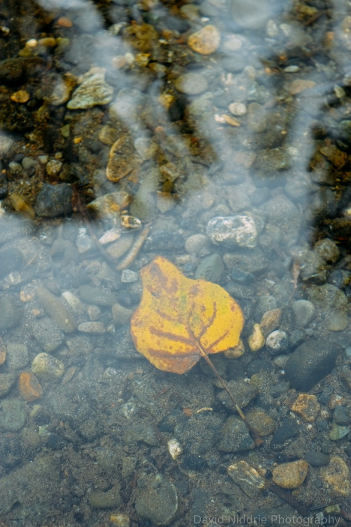 Lone yellow leaf underwater on the Skagit River