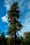Ponderosa Pines are rare to see in this area, here along the Skagit River.