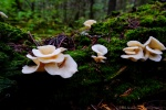 Angel Wings - a type of Oyster mushroom - flourishes in this valley.